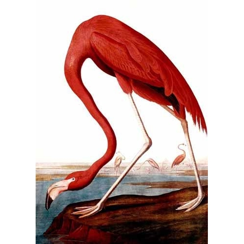 Comprar animals - Flamenco Americano online - Audubon, John James